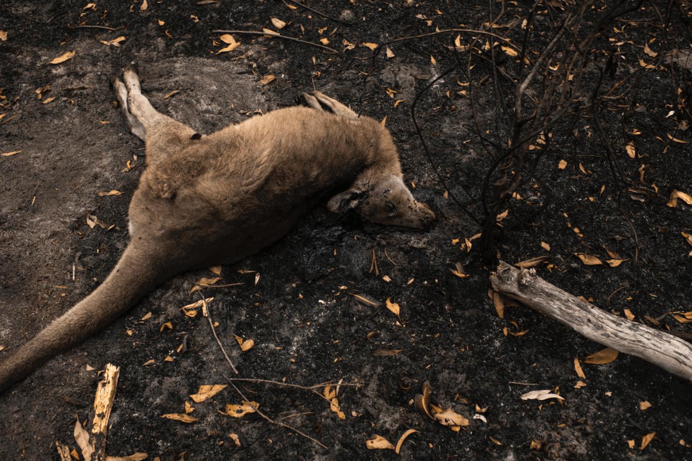 Kangoeroe overleden door bosbranden in Australië.