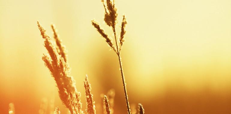 Graanveld in warme zomer.