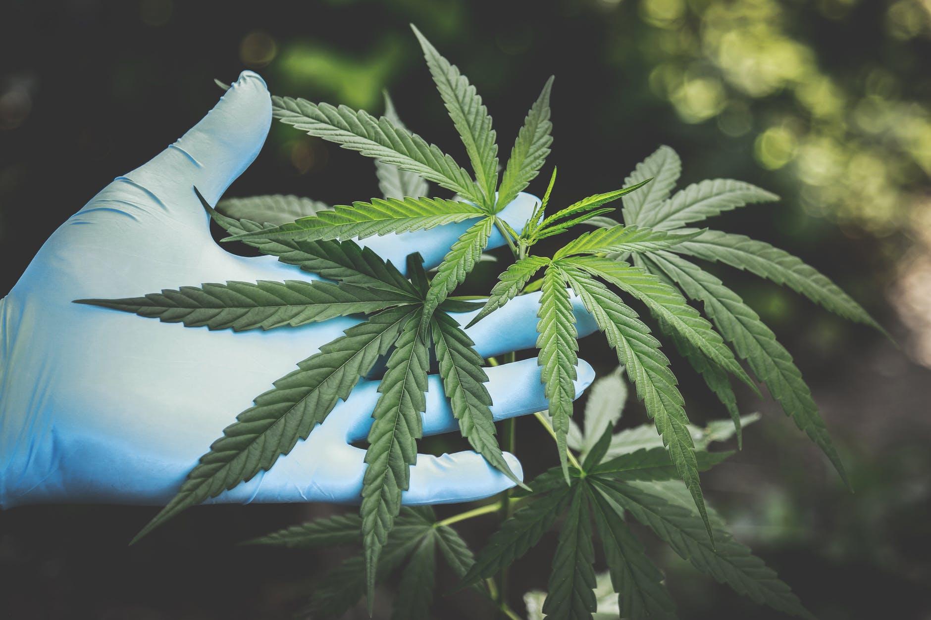 Corona maakt cannabisstandpunt pijnlijk duidelijk
