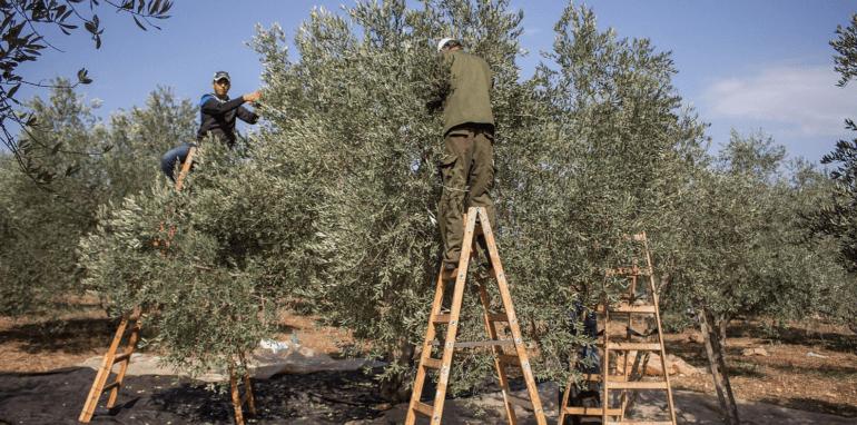 Palestijnse boeren oogsten olijven.